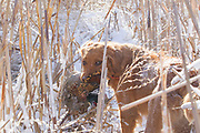 "Golden retriever ""Kaya"" hunts pheasants in South Dakota"