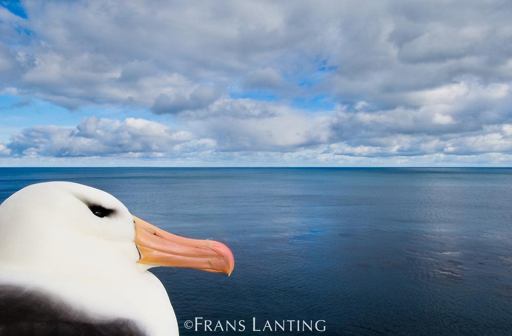 Black-browed albatross, Thalassarche melanophrys, Falkland Islands