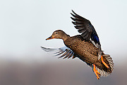 American Black Duck, Anas rubripes, female, Shiawassee NWR, Saginaw County, Michigan