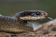 Herald snake (Crotaphopeltis hotamboeia)<br /> Marataba, A section of the Marakele National Park<br /> Limpopo Province<br /> SOUTH AFRICA<br /> Habitat &amp; range: Marshy areas, moist savanna &amp; grassland of se South Africa
