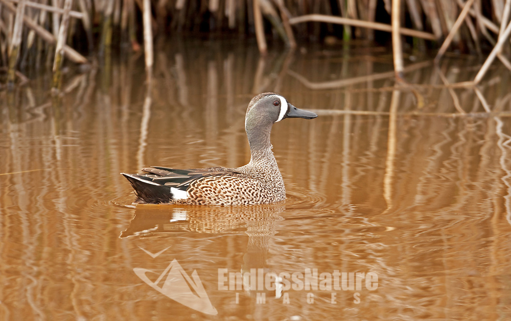 A male Blue Winged Teal early in March just as nesting season is starting.