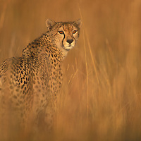 Africa, Kenya, Masai Mara Game Reserve, Adult Female Cheetah (Acinonyx jubatas) standing in tall grass on savanna