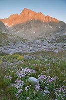 Field of wildflowers composed of purple Asters in Indian Basin, Harrower Peak is in the distance, Bridger Wilderness, Wind River Range wyoming