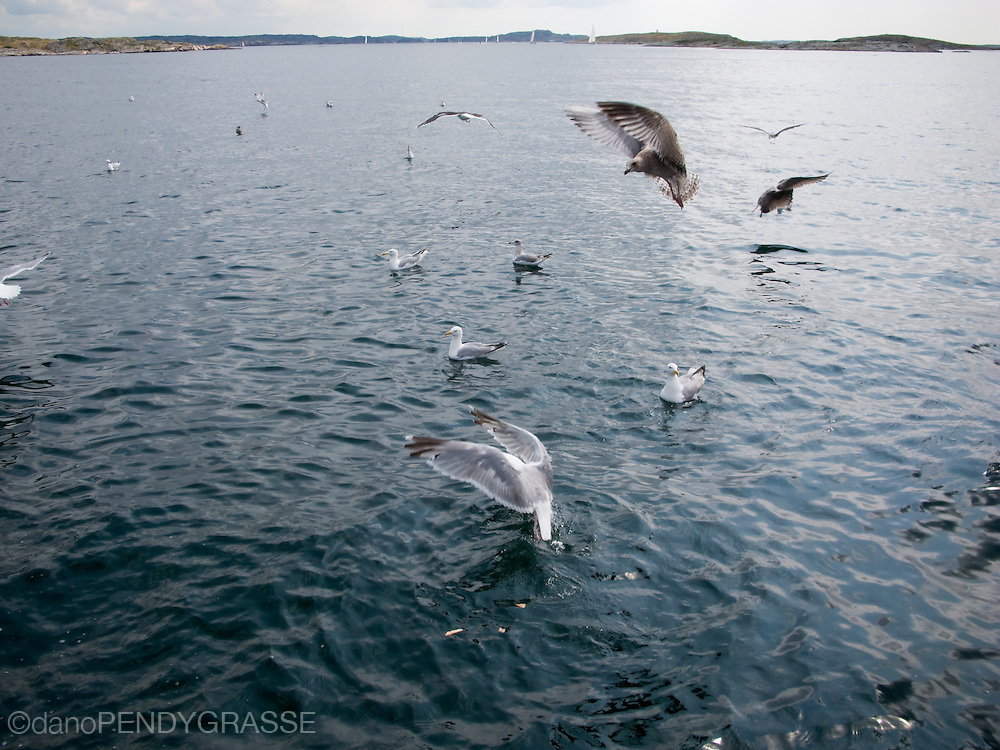 Seagulls pluck food from the surface of the sea in the Swedish Archipelago.