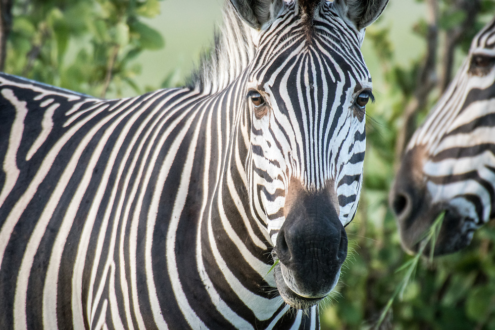 A close up shot of a zebra grazing on the grasslands of the savanna in Hwange National Park. Hwange, Zimbabwe.
