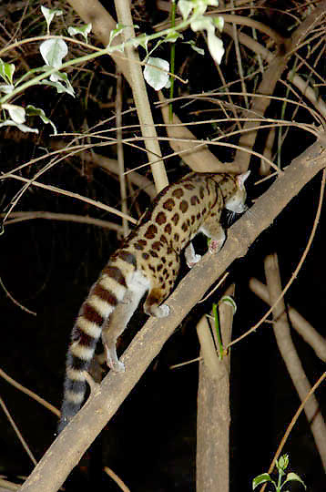 Large Spotted Genet (Genetta tigrina) Nocturnal. Near Samburu Intrepids Camp. Kenya. Africa.