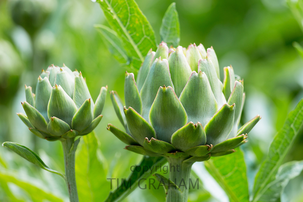 Globe artichokes, Cynara scolymus, in organic vegetable garden in Oxfordshire UK