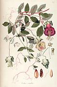 Hand painted botanical study of an unidentified flower anatomy from Fragmenta Botanica by Nikolaus Joseph Freiherr von Jacquin or Baron Nikolaus von Jacquin (printed in Vienna in 1809)