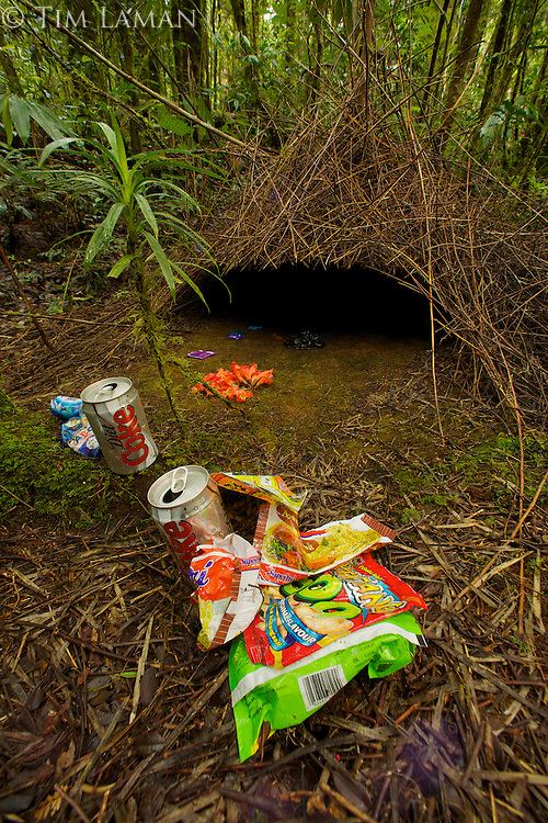 Bower of Vogelkopf Bowerbird (Amblyornis inornatus) decorated with various types of trash and some flowers.