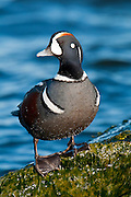 Harlequin Duck, Histrionicus histrionicus, male, Barnegat Light, New Jersey