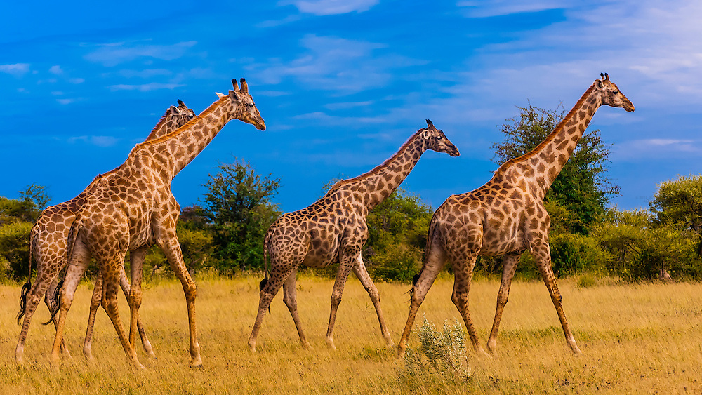 Giraffes walking, Nxai Pan National Park, Botswana.