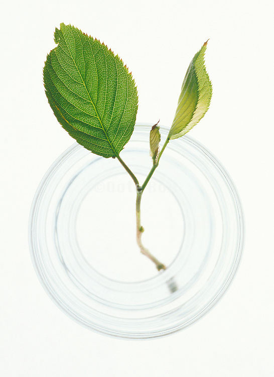leaf branch in glass of water