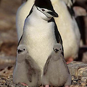 Chinstrap Penguin, (Pygoscelis antarctica) Adult with chicks on nest in colony.South Georgia Island