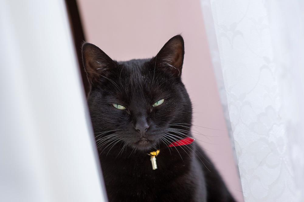 Black domestic pet cat sat on a window sill, England, UK.