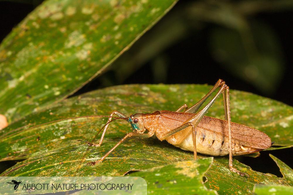 Katydid (Cocconotini, cf. Schedocentrus)<br /> PERU: Madre de Dios<br /> Refugio Amazonas on the Tambopata River<br /> 25-Nov-2015<br /> J.C. Abbott &amp; K.K. Abbott