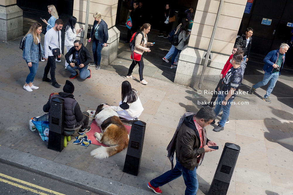 An aerial view of a St Bernard dog lying outside Westminster Underground station for the benefit of passing tourists, on 5th June 2019, in London, England.