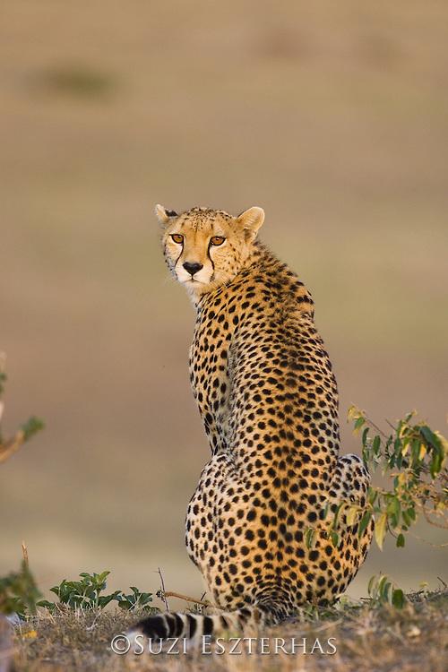 Cheetah<br /> Acinonyx jubatus<br /> Female<br /> Maasai Mara Reserve, Kenya