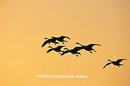 00748-032.08 Canada Geese (Branta canadensis) in flight at sunset, Horicon NWR   WI