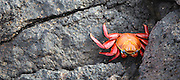A red rock crab, or Sally Lightfoot (Grapsus grapsus) on South Plaza Island, Galapagos Archipelago, Ecuador.