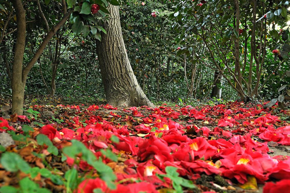 """France, Languedoc Roussillon, Gard, Cévennes, Alès, jardin, """"les Camellias de la Prairie"""", camellias """"Duchesse de Caze Don Kelarii"""""""