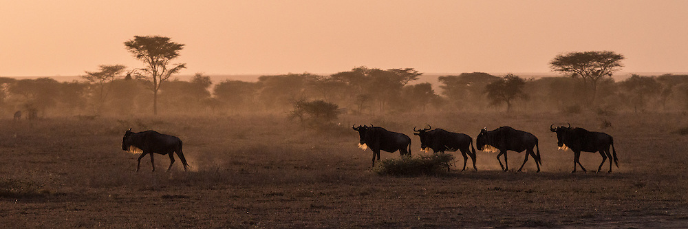 Wildebeest silhouetted against the Serengeti setting sun.