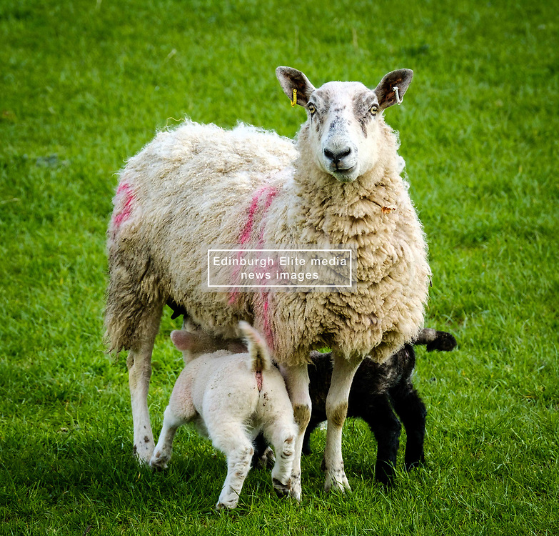 Lambs feeding from their mum on a farm in the Scottish Borders<br /> <br /> (c) Andrew Wilson | Edinburgh Elite media
