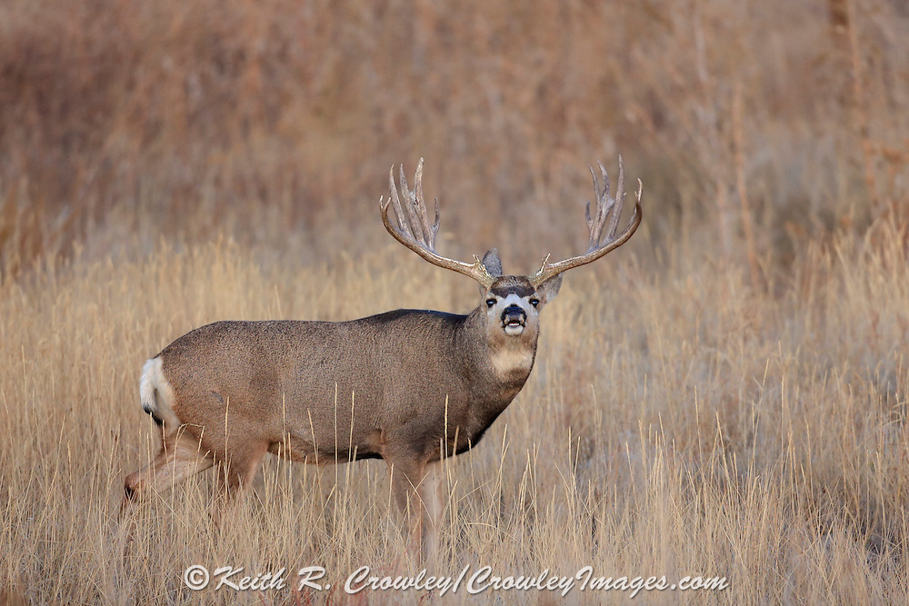 A trophy mule deer buck searches for receptive does during the autumn rut. Here he is performing the Flehmen response (lip curl) to scent does in estrus.