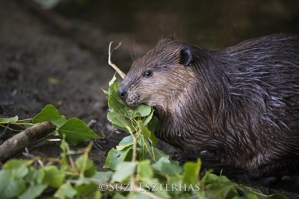 North American Beaver<br /> Castor canadensis<br /> Eating cottonwood<br /> Martinez, CA