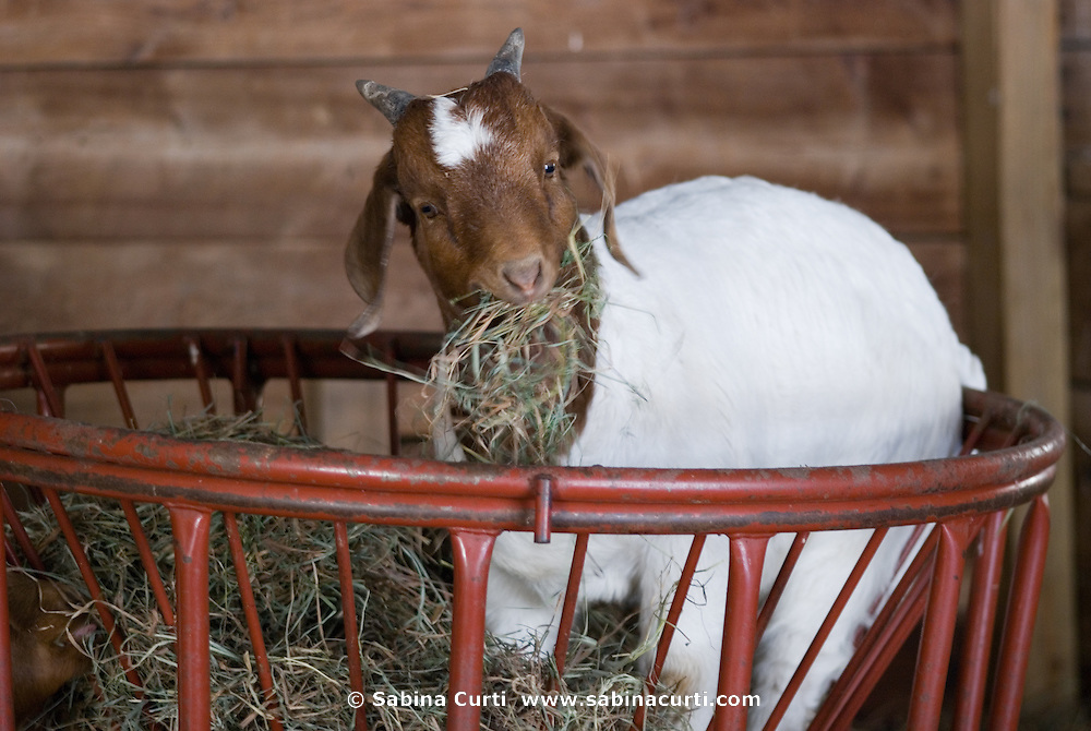 Early Spring, young boer goat eats in feeder on sustainable family farm, Hillsdale, NY