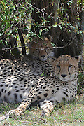 Kenya, Masai Mara, Cheetahs (Acinonyx jubatus) rests in a bush