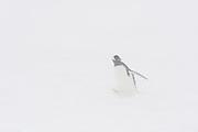 A gentoo penguin, Pygoscelis papua, in a snowstorm, Neko Harbour, Antarctica.