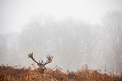 © Licensed to London News Pictures. 22/01/2020. London, UK. Deer enjoy the cover of the fog in Richmond Park. Another foggy start for Londoners in Richmond as forecasters predict lingering fog and milder weather for the week ahead. Photo credit: Alex Lentati/LNP