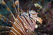 Volitans or Black lionfish (Pterois Volitans) or Red Firefish - Agincourt reef, Great Barrier Reef, Queensland, Australia.