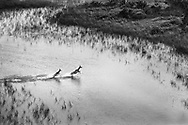 Kudus crossing a channel, Okavango Delta, Botswana / Kudus cruzando un canal, Delta del Okavango Botswana