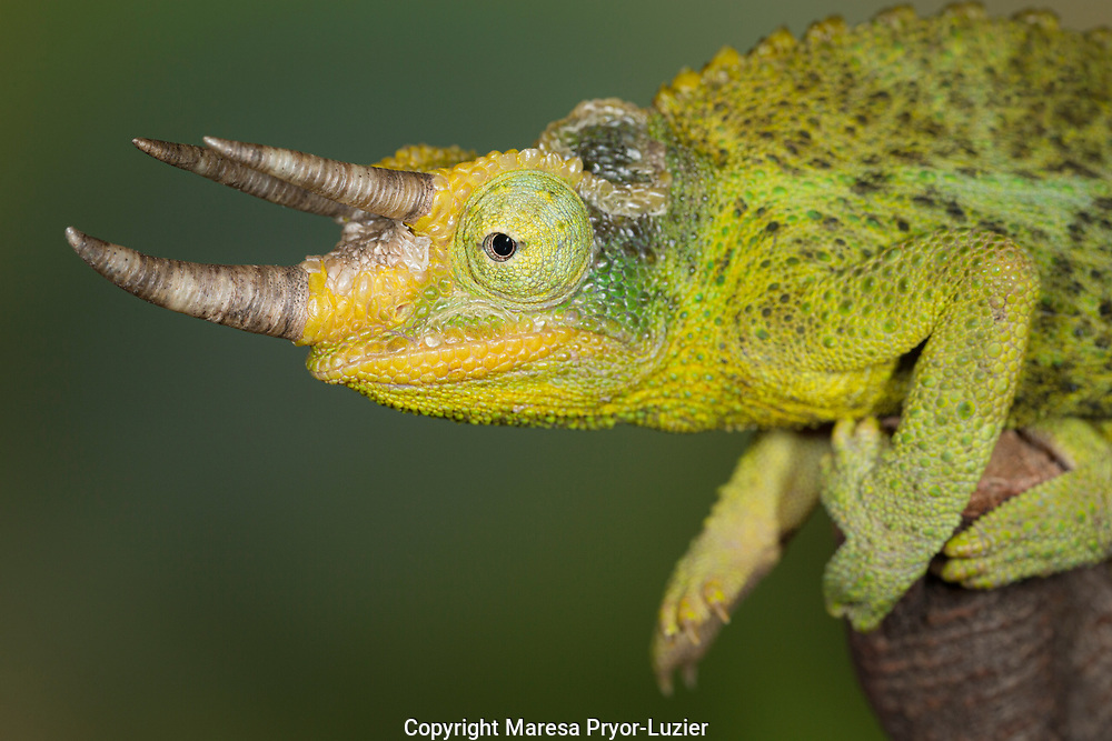 Jackson's Three-horned Chameleon, Trioceros, Chameleon jacksoni xantholophus, Controlled conditions