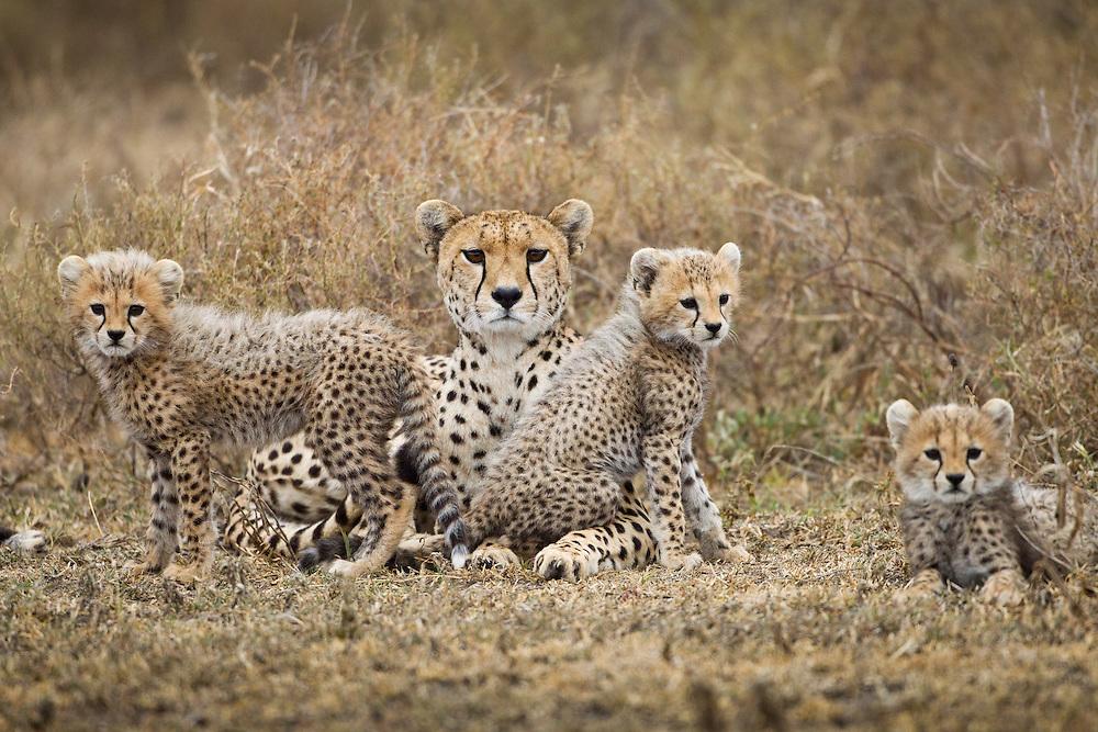 Tanzania, Ngorongoro Conservation Area, Ndutu Plains, Young Cheetah Cubs (Acinonyx jubatas) sitting with mother on savanna at dusk