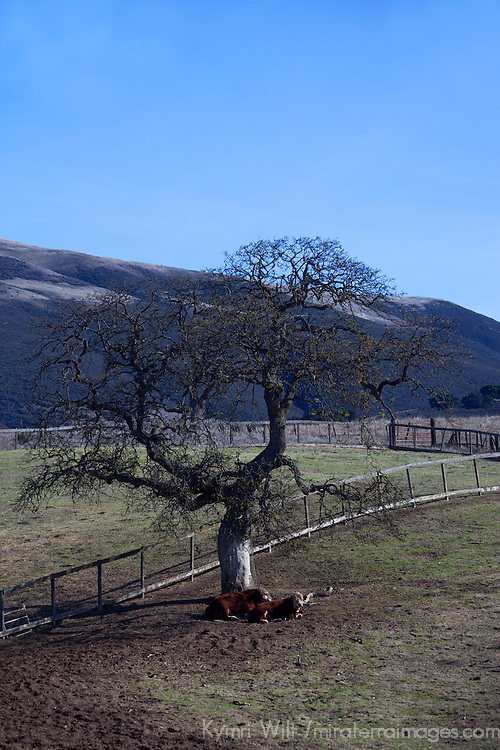 USA, California, Carmel Valley. Cattle and  Oak Tree.