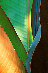 Close view abstraction of tropical plant leaves-reminiscent of guitar shape