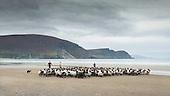Achill Mountain Lamb - IFJ