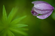 Purple flower with fresh raindrops still lingering at the Wild Gardens of Acadia