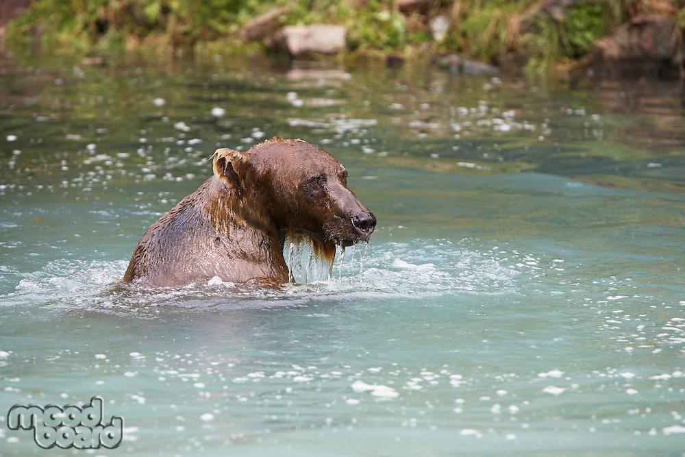 USA, Alaska, Brown Bear swimming in river