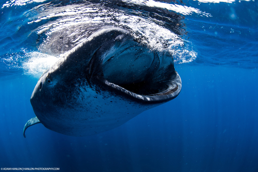 A whale shark (Rhincodon typus) feeding on fish eggs during the annual aggregation at Isla Mujeres, Mexico.