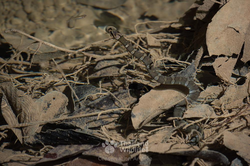 Martaban Water Snake (Homalopsis semizonata) in situ under water hunting fish in Khao Pra Bang Khram Wildlife Sanctuary, Krabi, Thailand