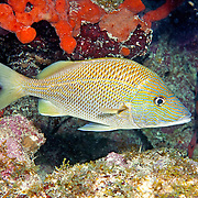 White Grunt inhabit reefs in Tropical West Atlantic; picture taken Key Largo, FL.