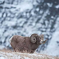 mature rocky mountain bighorn sheep in rocky mountains, crown of the continent wild rocky mountain big horn sheep