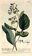 Coloured Copperplate engraving of a flowering Pulmonaria plant from hortus nitidissimus by Christoph Jakob Trew (Nuremberg 1750-1792)