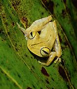 Yellow Treefrog (Hyla calcarata) - Amazonia, Peru