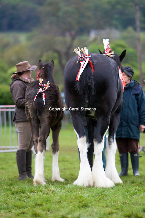 G H &amp; G Emmott's Currerwood Mellisa   S Red Brae Mascot<br />