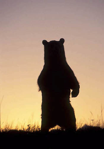 Grizzly Bear, (Ursus horribilis) Montana. Grizzly bear standing at sunrise. Captive Animal.