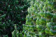 Camanducaia_MG, Brasil...Detalhe de pinheiros em Camanducaia...Pines tree detail in Camanducaia...Foto: LEO DRUMOND / NITRO......